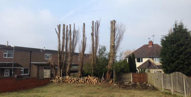 Poplars Pruned by Hands on Tree Care