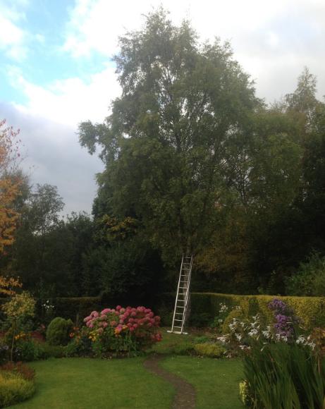 Silver Birch Tree in Chesterifield