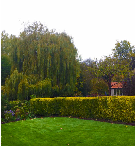 Large Weeping Willow Sheffield