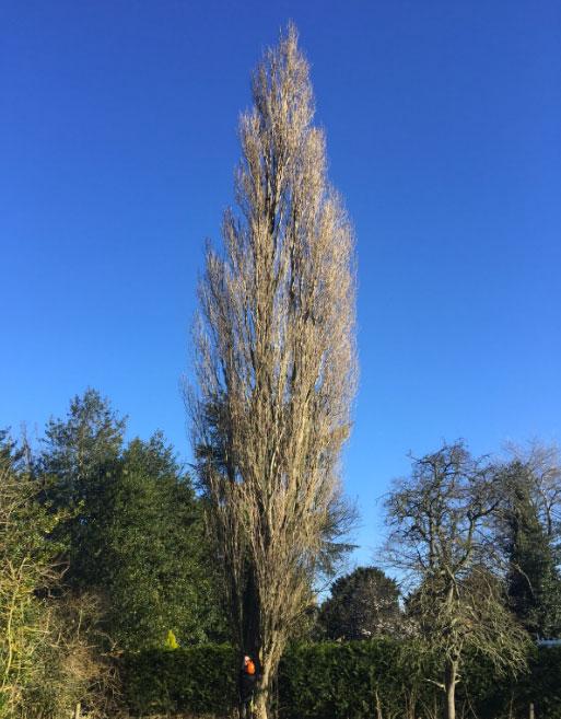 Poplar Tree Felled