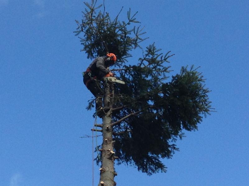 Spruce Tree Cut Down